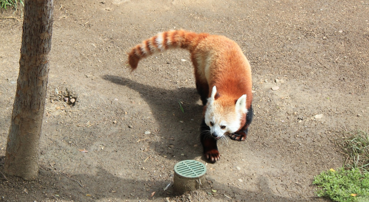 Red Panda at the San Diego Zoo - a restless beautiful creature.