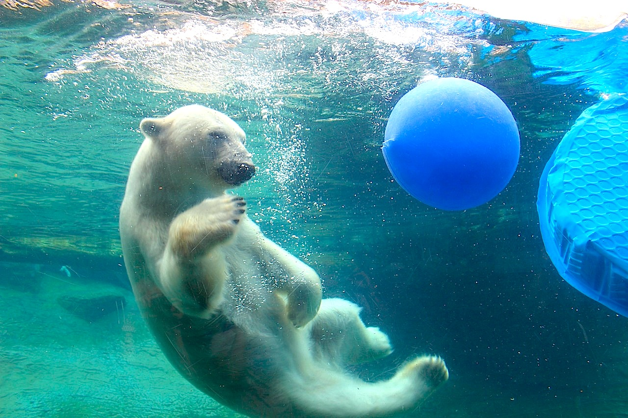 A playful Polar Bear at the San Diego Zoo.