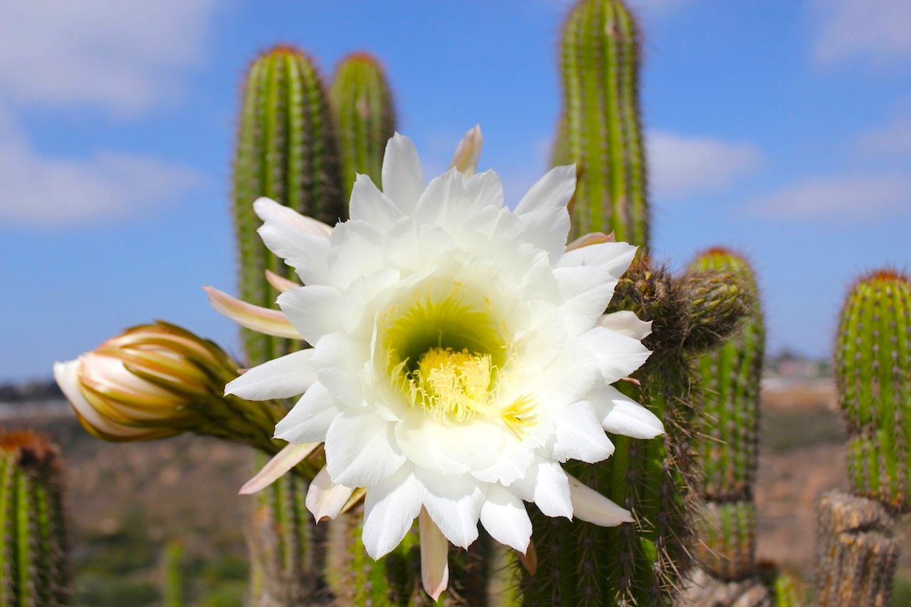 A blooming cactus in the Desert Garden.