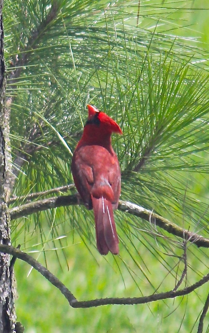 Red cardinal closeup
